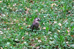 Jay bird animal on the grass photo