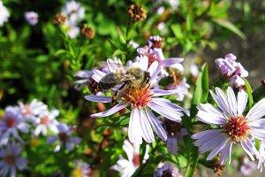 Bumblebee bee in aster astra flowers macro photo