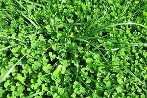 Green clover grass plant Saint Patrick's Day macro photo background