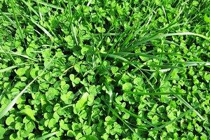 Green clover grass plant Saint Patrick's Day macro photo background