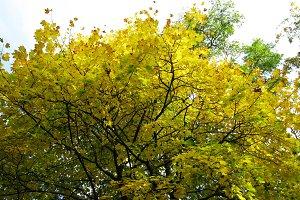 Autumn yellow maple tree foliage branches background photo