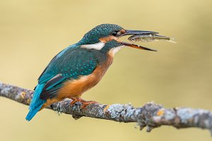 Kingfisher bird eating a fish