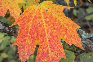 Multicolored Sugar Maple Leaf