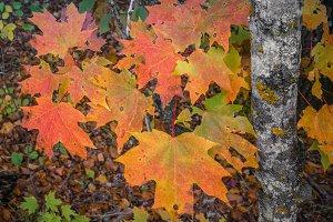Fall Color Sugar Maple Leaves