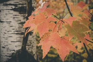 Red Maple Leaves and Aspen Tree