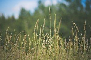 Closeup of Grasses in Field
