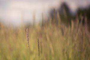 Timothy Grass Seedheads