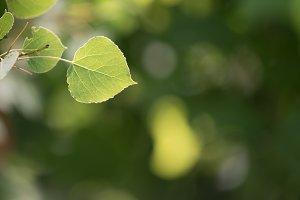 Sunlit Trembling Aspen Leaf