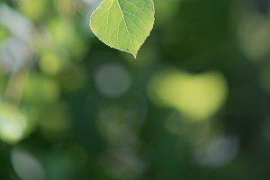 Single Quaking Aspen Leaf