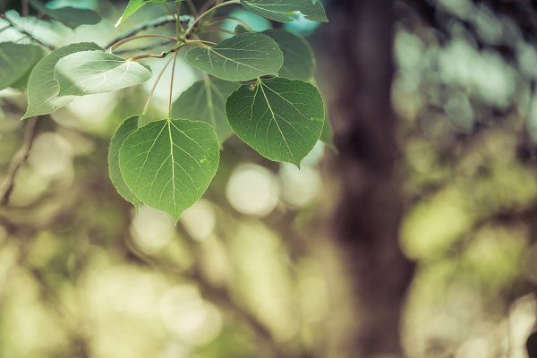 Trembling Aspen Leaves High Quality Nature Stock Photos Creative Market