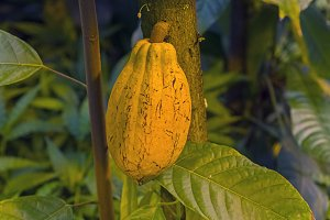Fruit of cocoa on a tree.