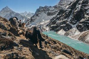 Himalayan Yaks