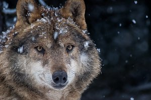 Iberian wolf male in the snow