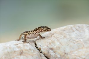 Gecko lizard on rocks