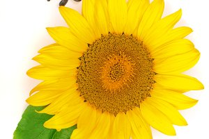 sunflower with seeds and leaves isolated on white background. Top view