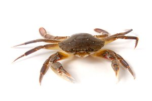 edible alive crab isolated on a white background
