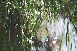 Needles of pine and bright rain.