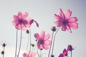 Pink cosmos, pastel filter
