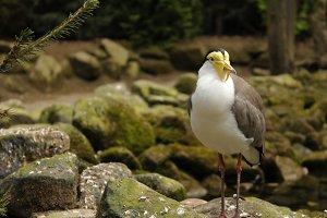 """Bird, """"Masked Lapwing"""""""