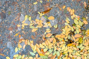 Fallen yellow autumn leaves on the water surface in autumn colors and lights. Beautiful nature background photography of a pond with stones at the bottom and wet leaves floating above.