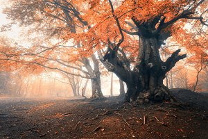 Old magical tree with big branches and orange and red leaves