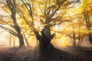 Magical old forest with sun rays. Amazing trees in fog