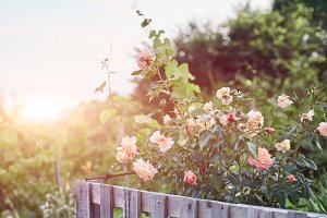 beautiful summer evening landscape with roses in the garden