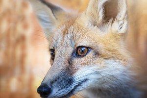 Kit Fox Portrait
