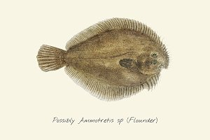 Drawing of a Flounder fish