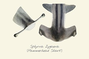 Drawing of a Hammerhead Shark