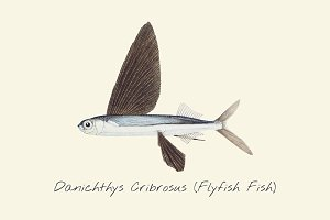 Drawing of a Flyfish