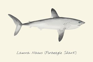 Drawing of a Porbeagle Shark
