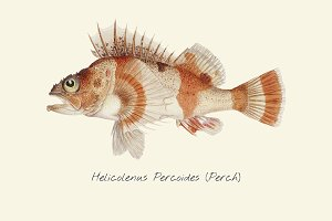 Drawing of a Perch fish