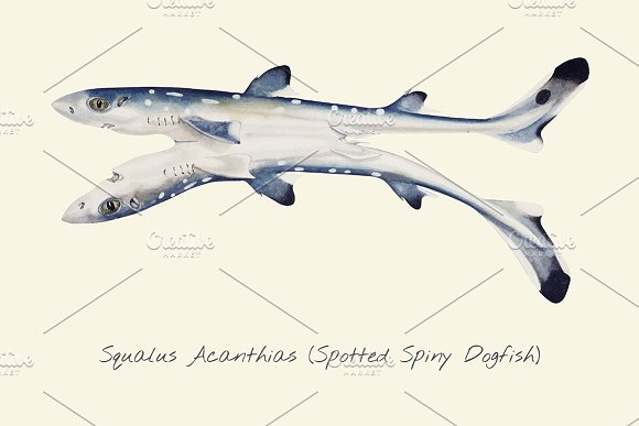 Drawing Of Spiny Dogfish