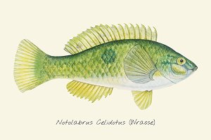 Drawing of a Wrasse