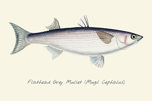 Drawing of a Flathead Grey Mullet