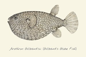 Drawing of a Gillbanks Globe Fish
