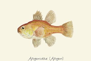 Drawing of an Apogon fish