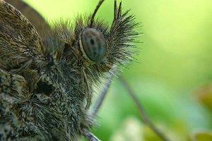 butterfly head
