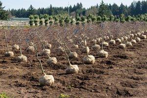 Nursery field with dug trees