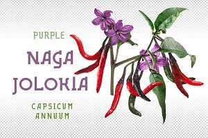 Purple Naga Jolokia
