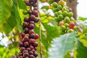 Coffee bush with ripening berries