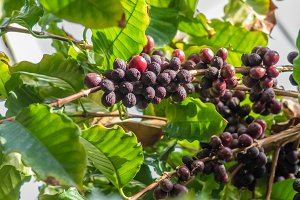 Ripening berries on coffee bush