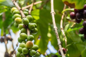 Coffee bush with green berries