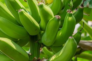 Green bananas in a bunch