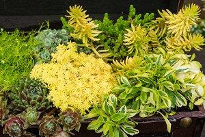 Sedum plants for green roof