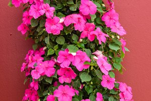 Blooming pink impatiens