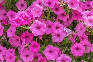 Pink blooming petunias