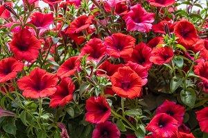Red petunia flowers