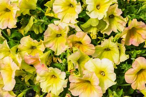 Yellow blooming petunias